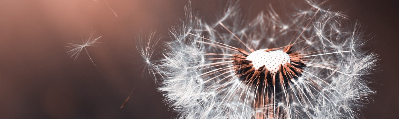 A dandelion seed head that is losing some of its seeds
