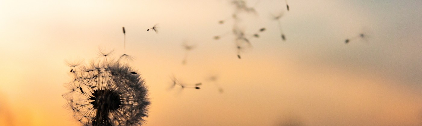 dandelion in front of sunset