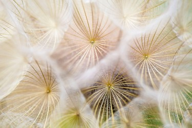 close up of dandelions